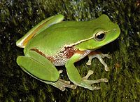 """Litoria phyllochroa"" מאת User:Froggydarb - english wikipedia. מתפרסם לפי רישיון Creative Commons Attribution-Share Alike 3.0 דרך ויקישיתוף - http://commons.wikimedia.org/wiki/File:Litoria_phyllochroa.JPG#mediaviewer/File:Litoria_phyllochroa.JPG"